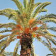 Date palm — Stock Photo #33700025