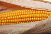 An ear of ripe corn — Stock Photo