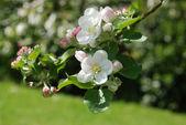 Kwitnących jabłoni — Zdjęcie stockowe