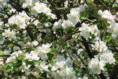 開花のリンゴの木 — ストック写真