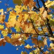 Tree in autumn colours — Stock fotografie #37859323