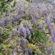 Wisteria — Stock Photo #37860777