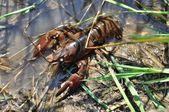 Crayfish in a pond — Stock Photo