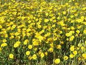Gyllene daisy — Stockfoto