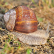 Stock Photo: Burgundy snail