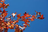 Tree in autumn colours — Stock fotografie