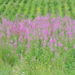 Stock Photo: Rosebay (Epilobium angustifolium)