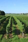 Vineyard fransa — Stok fotoğraf