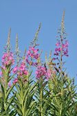 A Rosebay (Epilobium angustifolium) — Stock Photo