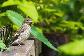 Baby bird of The European Pied Flycatcher — Stock Photo