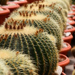 Cactus or cacti — Stock Photo #12390707