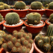Stock Photo: Cactus or cacti