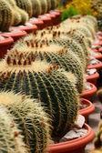 Cactus or cacti — Stock Photo