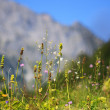 Wild herbs growing on a meadow in the Alps — Foto Stock