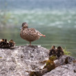 Wild Mallard (Anas platyrhynchos) with ducklings sitting on rock - Stock Photo