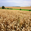 Fields of Wheat in Summer — Lizenzfreies Foto