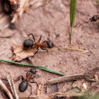 Red European Forest Ants (Formica rufa) - Stock Photo