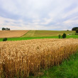 Fields of Wheat in Summer — Foto Stock
