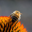 Honeybee (Apis mellifera) on Flower - Stock Photo