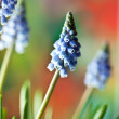 Grape Hyacinth Muscari armeniacum — Foto Stock