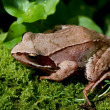 European Common Brown Frog, Rana temporaria - Stock Photo