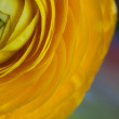 Yellow Persian Buttercup Flower Ranunculus asiaticus — Stock Photo