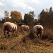 Sheep in Autumn — Stock Photo