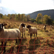 Sheep in Autumn - Stock Photo