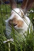 Jovens coelhos domésticos — Foto Stock