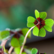 Four - Leaved Clover — Stock Photo