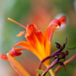Lilly flowers (Lilium) — Stockfoto