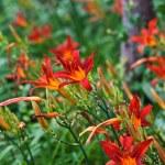Lilly flowers (Lilium) — Stock Photo