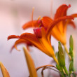 Lilly flowers (Lilium) — Foto de Stock