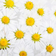 Daisy Flowers with Dewdrops — Stock Photo