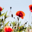 Corn Poppy Flowers Papaver rhoeas — Foto de Stock
