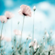 Corn Poppy Flowers Papaver rhoeas — Foto Stock