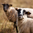 Sheep in Autumn - Foto Stock