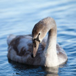 Swan on Lake — Stock Photo