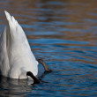 Swan on Lake - Stock Photo