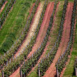 Vineyard in Southwest Germany, Rheinland-Pfalz - Stock Photo