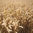 Fields of Wheat in Summer — Stockfoto