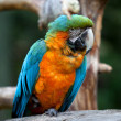 Royalty-Free Stock Photo: Blue and Yellow Macaw Ara