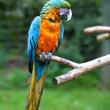 Blue and Yellow Macaw Ara — Stock Photo