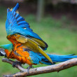 Blue and Yellow Macaw Ara - Stock Photo