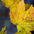 Maple Autumn Leaves — Stock Photo