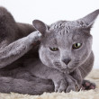 Russian Blue Cat — Stock Photo #15447227