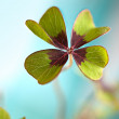 Four leaved Clover — Stock Photo
