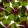 Four leaved Clover — Photo