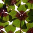 Four leaved Clover - Foto Stock