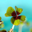 Four leaved Clover - Stock Photo